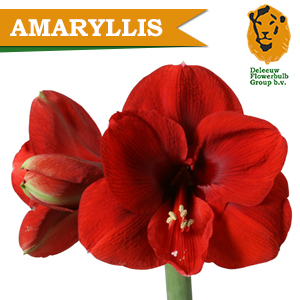 Ammaryliss