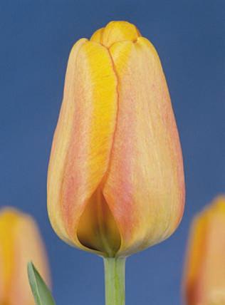 Blushing Apeldoorn