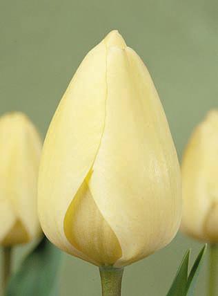Ivory Floradale