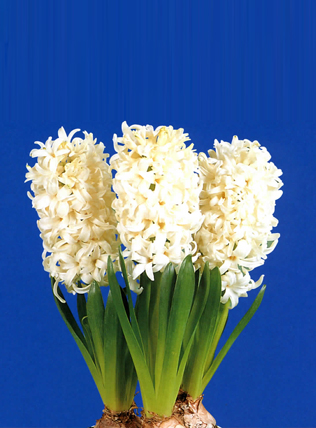 The forcing of Hyacinth